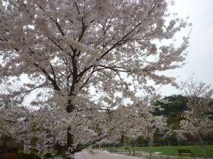 桜の絨毯 (2)